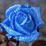 mavi-gul-resimleri4