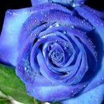 mavi-gul-resimleri6
