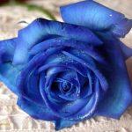mavi-gul-resimleri7
