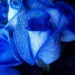 mavi-guller2