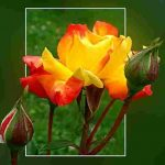 sari-gul-resimleri10