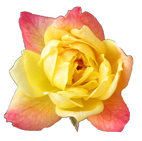Sarı güller gül resimleri