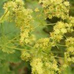 Cilt için şifalı bitkiler