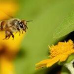 Genç kalmanın sırrı arılarda