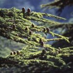 Sedir Ağacı Yağının Faydaları Nelerdir