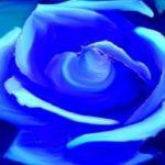 mas-mavi-gul-resmi