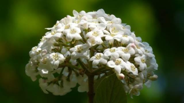 Defne Çiçeği