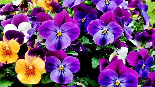 Menekşe Çiçeği