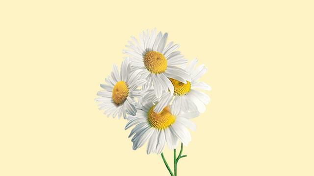 Papatya Çiçeği