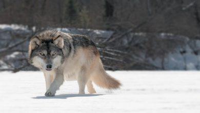 Rüyada kurt görmek ne anlama gelir?